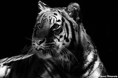 Photograph - Beautiful Tiger Bw  by Debra Forand