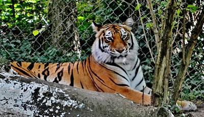 Beautiful Tiger Art Print