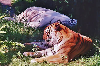 Photograph - Beautiful - Tigers by D Hackett