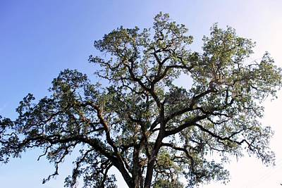 Photograph - Beautiful Tree Blue Sky Sunshine by Matt Harang