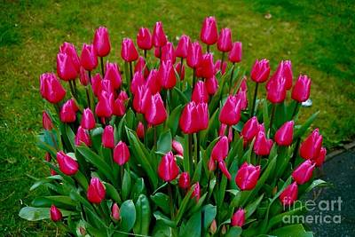 Photograph - Beautiful Tulips by Joan-Violet Stretch