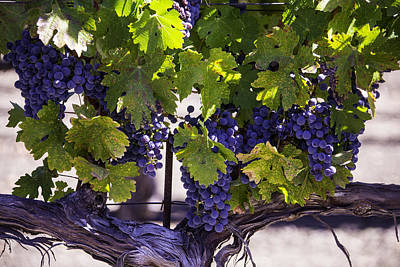 Grapevine Photograph - Beautiful Vineyards by Garry Gay