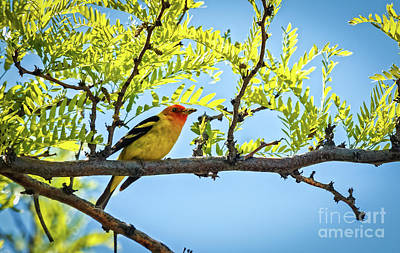 Photograph - Beautiful Western Tanager by Robert Bales