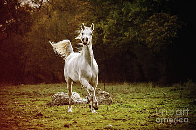 Photograph - Beautiful White Arabian Horse In The Forest by Dimitar Hristov