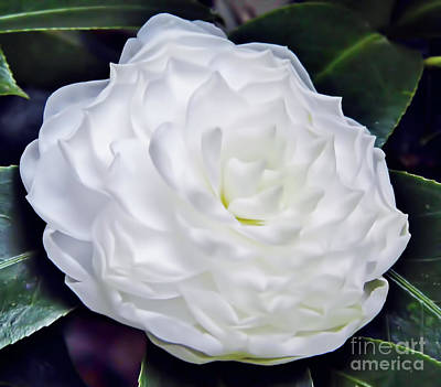 Photograph - Beautiful - White - Camellia by D Hackett