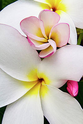 Photograph - Plumeria Flower A Tropical Beauty by Bob Slitzan