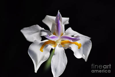 Photograph - Beautiful White Iris Flower by Joy Watson