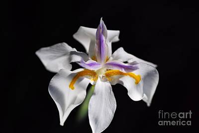 Photograph - Beautiful White Iris Flower by Joy Watson