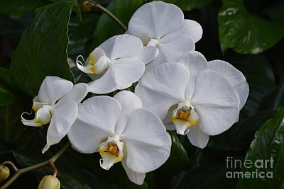 Photograph - Beautiful White Orchids by Jeannie Rhode