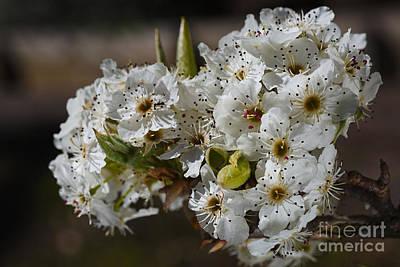 Photograph - Beautiful White Spring Blossom by Joy Watson