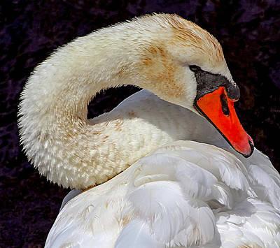 Photograph - Beautiful White Swan by Bob Slitzan