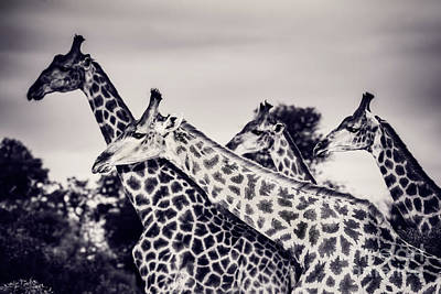 Photograph - Beautiful Wild Giraffes by Anna Om