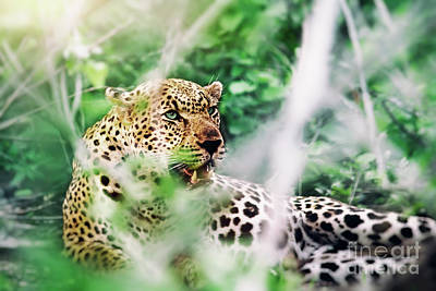Photograph - Beautiful Wild Leopard by Anna Om