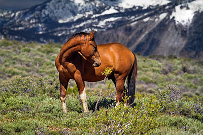 Photograph - Beautiful Wild Mustang Horse by Waterdancer