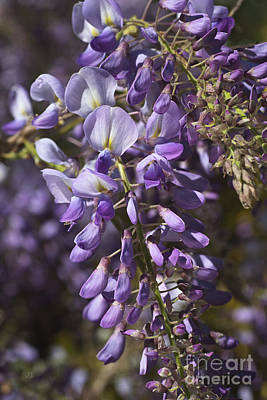 Photograph - Beautiful Wisteria A Spring Delight by Joy Watson