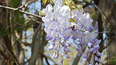 Photograph - Beautiful Wisteria by Charlotte Gray