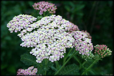 Photograph - Beautiful Yarrow Plant by Kay Novy