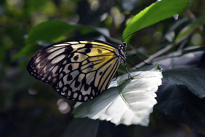 Glassy Wing Photograph - Beautiful Yellow Butterfly On A Leaf by Oana Unciuleanu