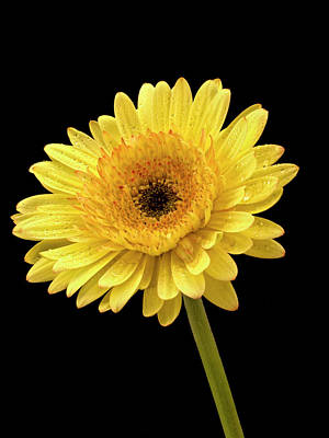 Photograph - Beautiful Yellow Gerbera by Jean Noren