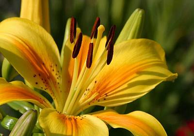 Photograph - Beautiful Yellow Lily by Tracey Harrington-Simpson