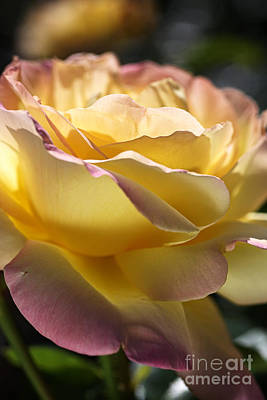 Photograph - Beautiful Yellow  Peace Rose by Joy Watson