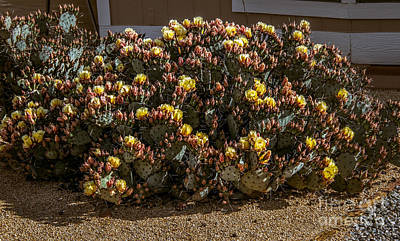 Photograph - Beautiful Yellow Pickly Pear Cactus by Robert Bales