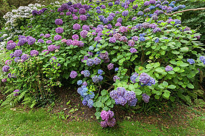 Olympic Sports - Beautifully colored common hydrangea bushes in France by Stefan Rotter