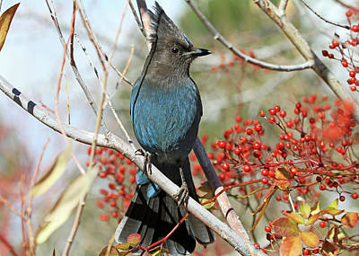 Stellers Jays Photograph - Beauty And The Beak by Donna Kennedy