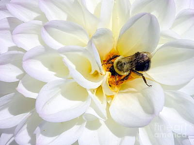 Photograph - Beauty And The Bee #6 by Ed Weidman