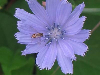 Beauty And The Bee Art Print by Marjorie Tietjen