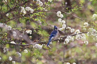 Photograph - Beauty And The Blue Jay by Living Color Photography Lorraine Lynch