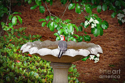 Photograph - Beauty At The Birdbath by Sue Melvin