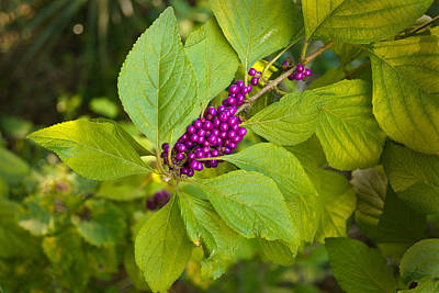 Oscar Scherer State Park Photograph - Beauty Berries by John Myers