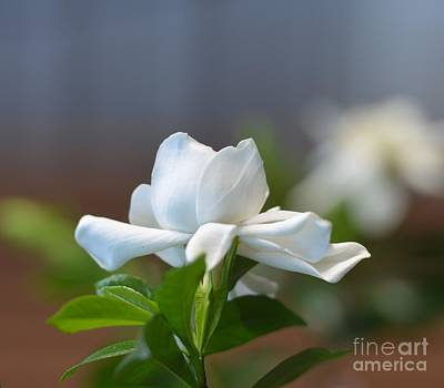 Photograph - Beauty - Gardenia by Maria Urso
