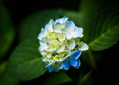 Photograph - Beauty In A Hydrangea by Shelby Young