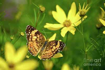 Checkerspot Photograph - Beauty In The Garden by Deb Halloran