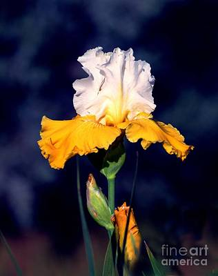 Photograph - Beauty In Yellow And White by Linda Cox