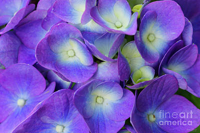 Photograph - Beauty Of A Blue Hydrangea by Jennifer White