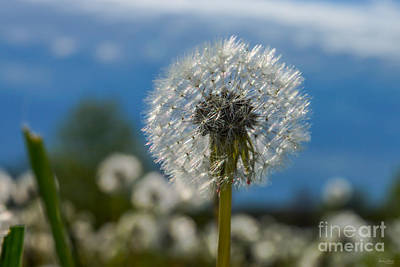 Photograph - Beauty Of A Dandelion by Jennifer White