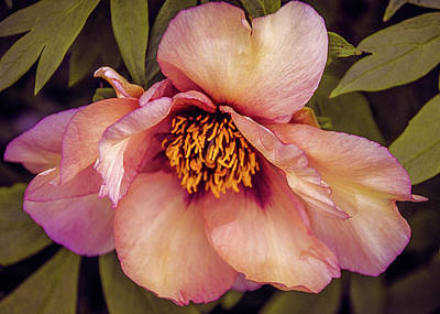 Photograph - Beauty Of A Peony  by Julie Palencia