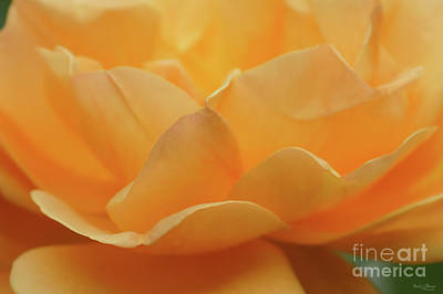 Photograph - Beauty Of A Rose by Jennifer White