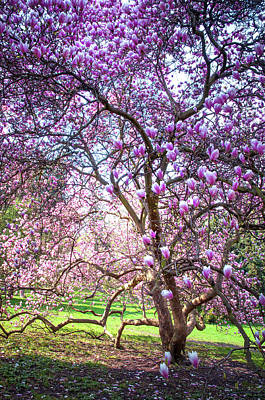 Photograph - Beauty Of Blooming Magnolia Tree. Petrin Hill. Prague by Jenny Rainbow