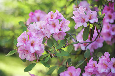 Photograph - Beauty Of Pink Rhododendron by Jenny Rainbow