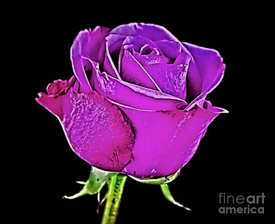 Photograph - Beauty Of Rose 11318-1 by Ray Shrewsberry