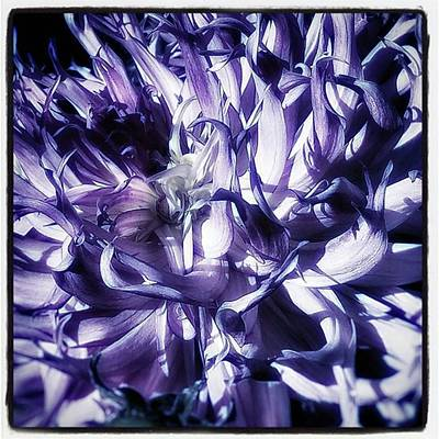Photograph - Beauty Out Of Chaos. No Wonder Dahlias by Jim James