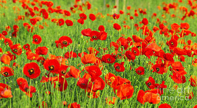 Beauty Red Poppies Art Print by Boon Mee