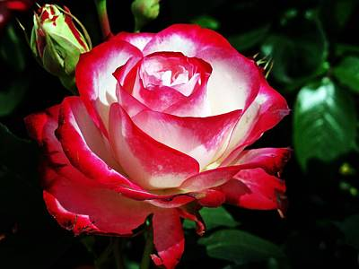 Photograph - Beauty Rose by Joseph Frank Baraba