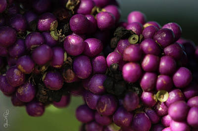 Photograph - Beautyberry by Susan Molnar