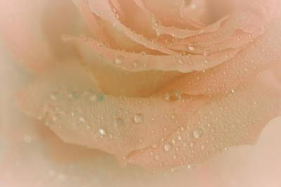 Peach Roses Photograph - Beauty's Delight by The Art Of Marilyn Ridoutt-Greene