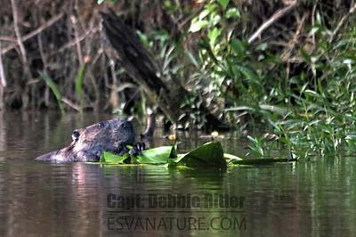 Photograph - Beaver 5422 by Captain Debbie Ritter